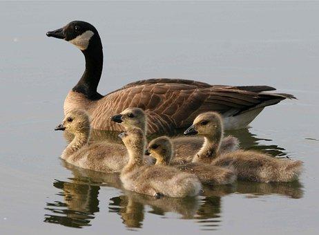 Canadensis, Branta, Water, Swimming, Brood, Bird