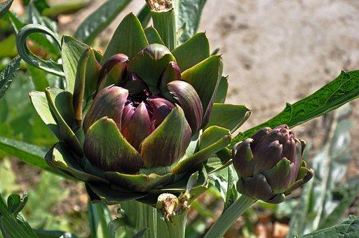 Artichoke, Plant, Blossom, Bloom, Bud, Leaf, Scale
