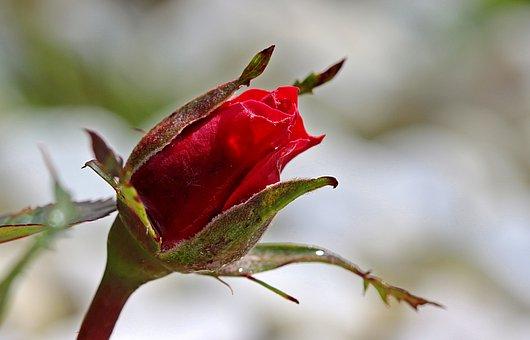 Rose, Rosebud, Bud, Red, Rose Bloom, Plant, Beauty