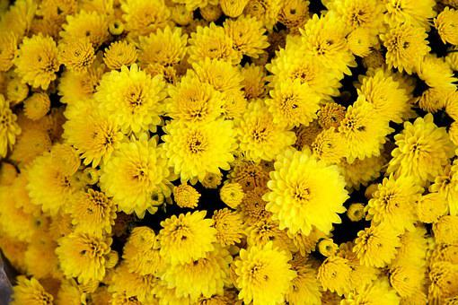 Chrysanthemum, Flower, Yellow, Bloom, Blossom, Petal