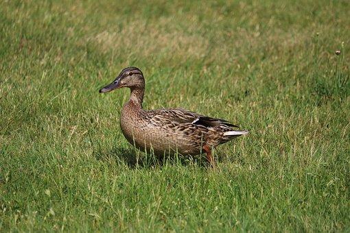 Duck, Meadow, Bird, Nature, Water Bird, Mallard, Close