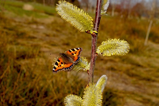 Butterfly, Little Fox, Butterflies, Color