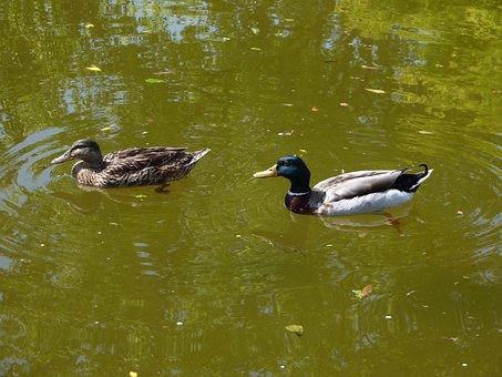 Mallards, Nature, Couple, Birds, Duck, Biped, Beak