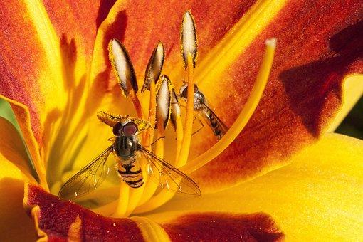 Daylily, Hemerocallis, Day Lily Flower, Flower, Plant