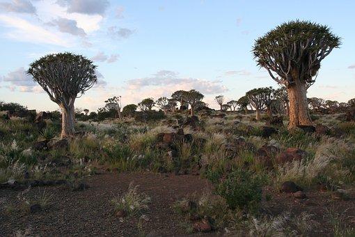 Dichotoma, Aloe, Trees, Namibia, Desert, Africa