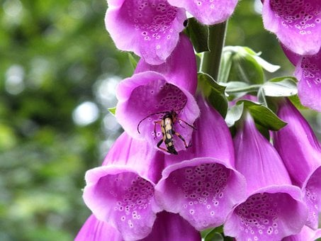 Common Foxglove, Thimble, Digitalis Purpurea