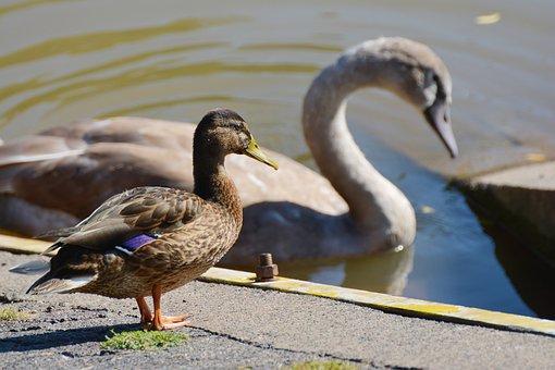 Duck, Mallard, Swan, Water, Water Bird, Duck Bird