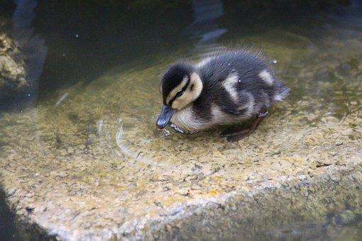 Duckling, Duckling Duck, Birds, Feathered Race, Duck