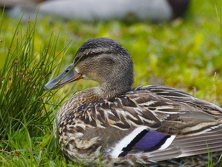 Barnacle, Ducks, Family Of Ducks, Animals, Bird, Canes