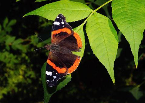 Butterfly, Admiral, Fauna, Color, Elegant