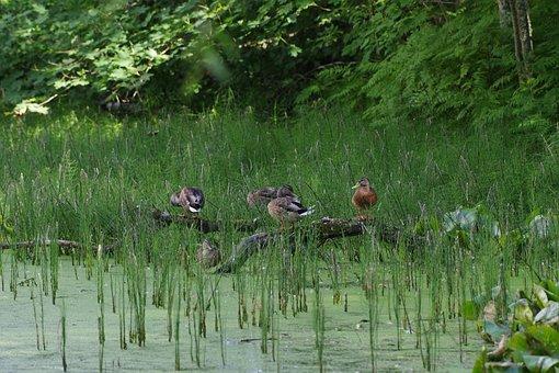 Anas Platyrhynchos, Mallard Duck, Birds, Estonia