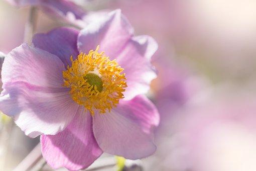 Anemone, Fall Anemone, Flower Garden, Garden Plant