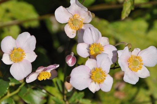 Fall Anemone, White, Flower, Nature, Garden, Autumn