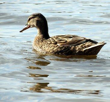 British, Wildlife, Nature, Bird, Feathers, Water, Duck