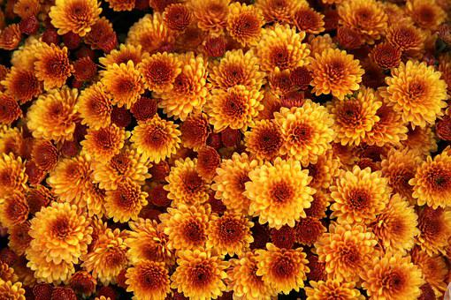 Chrysanthemum, Flower, Orange, Bloom, Blossom, Petal