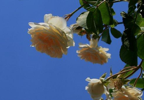 Rose, Bloom, Bud, Flower, White, Cream, Open, Petals