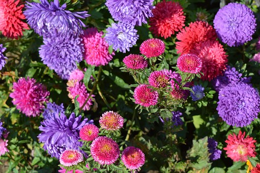 Asters, Flowers, Astra, Flower, Flower Bed, Bright