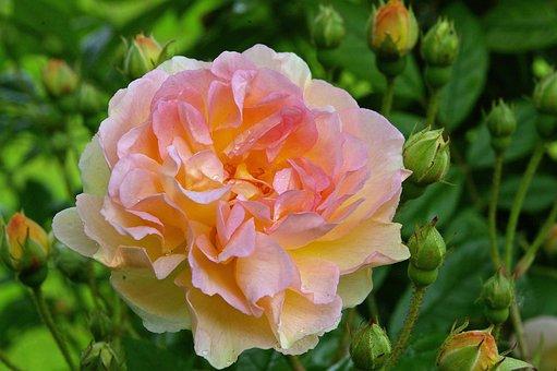 Rose, Garden Rose, Multi Coloured, Blossom, Bloom