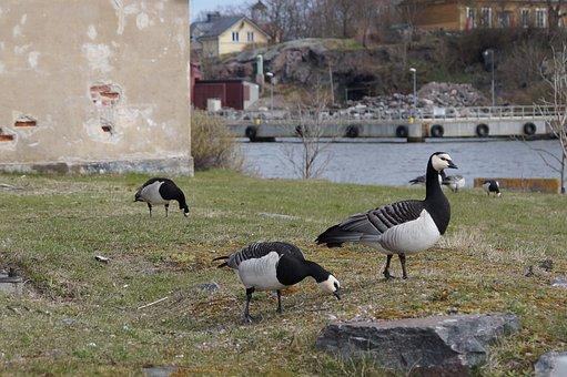 Geese, Canadian Goose, Goose, Birds, Sveaborg