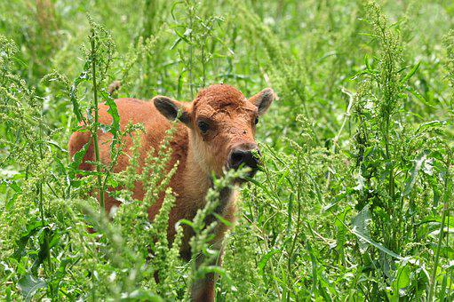 Bison, Baby, Cute, Wildlife, Young, Grass, Mammal