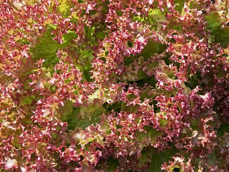 Lettuce, Leaf, Leaves, Red, Salad, Fresh, Healthy