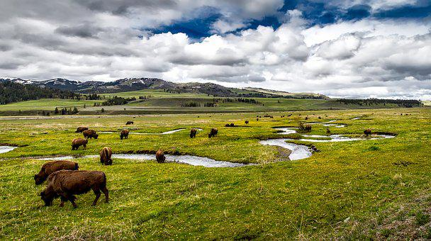 Buffalo, Bison, American, Grazing, Animals, Herd