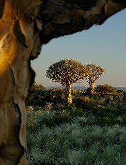 Quiver Tree Forest, Aloe Dichotoma, Tree, Landscape
