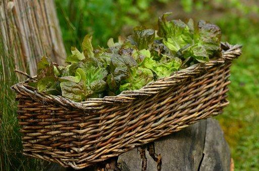 Salad, Leaf Lettuce, Bio, Fresh, Healthy, Lettuce