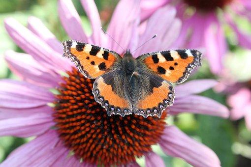 Little Fox, Butterfly, Flower, Summer, Aglais Urticae