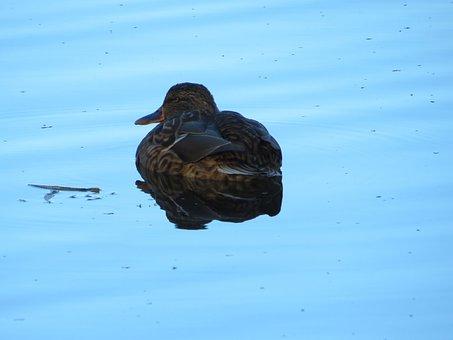Mallard, Female, Duck, Water, Protective Coloring, Cam