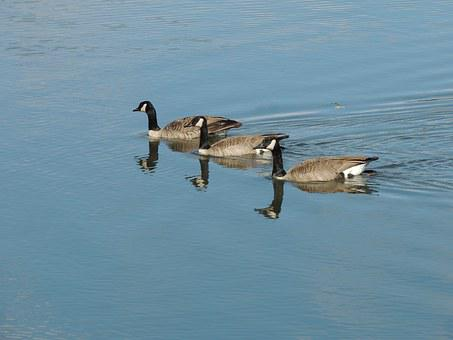 Snow Geese, Canadian Snow Geese, Geese, Birds, Nature