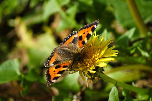 Small Tortoiseshell, Butterfly, Orange, Insect
