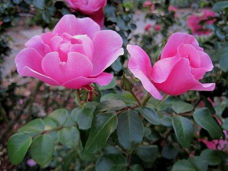 Roses, Deep Pink, Open, Bloom, Bud, Petals, Soft