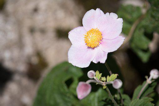 Anemone, Fall Anemone, Blossom, Bloom, Pink Flower