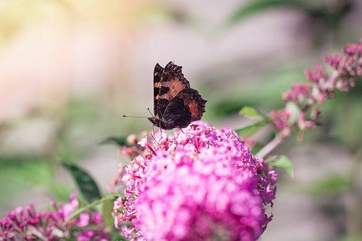 Summer, Lilac, Summer Lilac, Blossom, Bloom, Pink