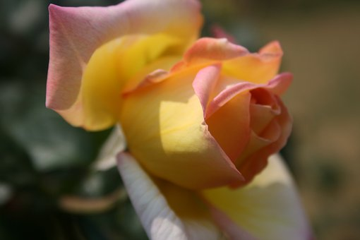 Rose, Pinky-yellow, Opening, Bloom, Bud, Petals, Soft