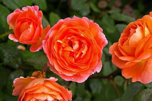 Rose, Orange Rose, Scented Rose, Rose Garden, Blossom