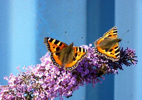 Butterflies, Small Tortoiseshell, Aglais Urticae