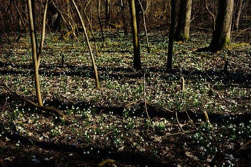 Forest, Snowflake, Forest Floor, Spring Flower, Blossom