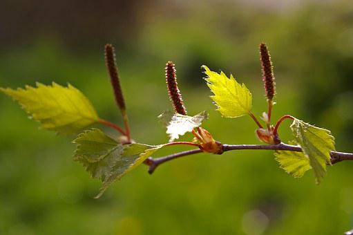 Leaf, Birch Leaf, Spring, Birch, Green, Nature