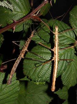 Acanthomenexenus Polyacanthus, Insect, Stick Insect