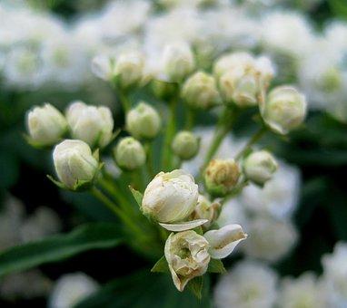 Mayflower, Buds, White, Opening, Summer, Shrub