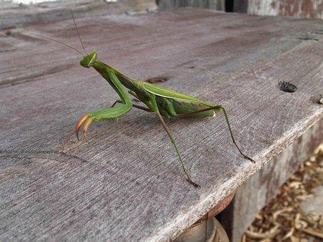 Walking Stick, Praying Mantis, Insect, Wildlife, Bug