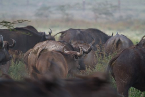 Water Buffalo, Buffalo, National Park, Africa