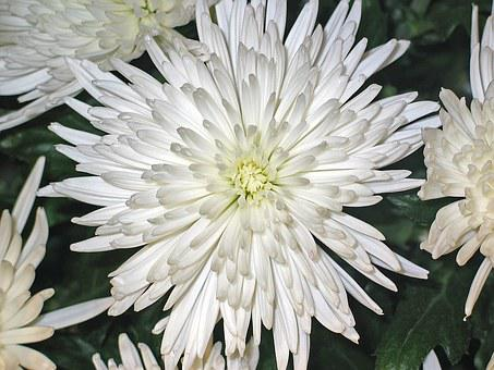 Chrysanthemums, Asters, Flower, Impression, White