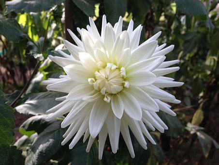 Flower, White, Petal, Petals, Open, White Flower