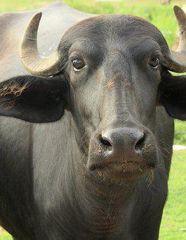Water Buffalo, Nature, Wild, Mammal, Asian, Horn