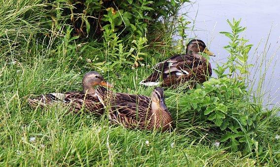 Ducks, Mallard, Bird, Wildlife, Green, Nature, Water