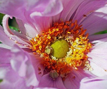 Fall Anemone, Blossom, Bloom, Windy, Ruffled