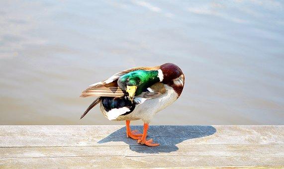 Bird, Duck, Ducks, Water Bird, Animal, Nature, Water